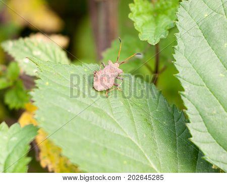 Big Single Dock Bug Resting On Leaf Coreus Marginatus