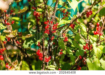 A bunch of red currants on a branch. Harvest the ripe berries of red currants