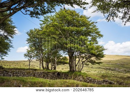 Old Stone Wall with Trees at Dartmoor National Park  in the county of Devon, in southwest England. UK