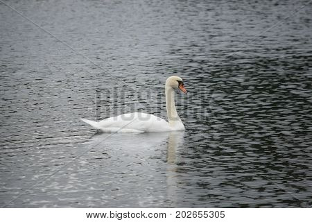 a swan slowly swims on calm water.