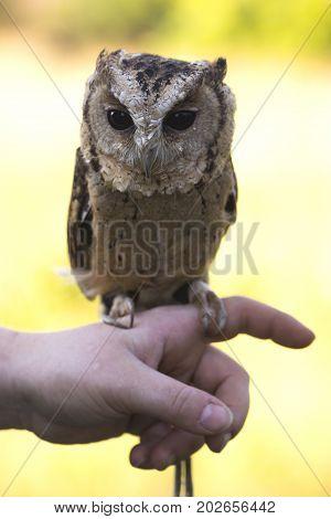 Beautiful Collared Scops Owl sitting on hand