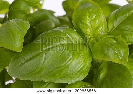 Fresh leaf of basil in detail. Shot in studio.