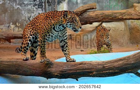Graceful spotted leopards live in the zoo and delight the audience with their graceful beauty