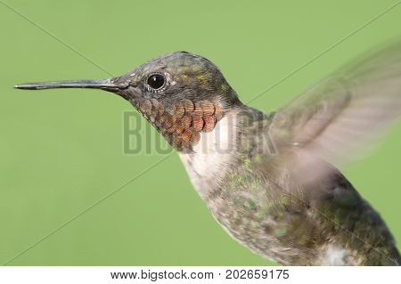Male Ruby-throated Hummingbird (archilochus colubris) with a green background