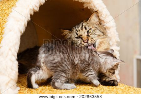 Mom cat lick the kitten in a cat house. Pets. Hypoallergenic breed of cats
