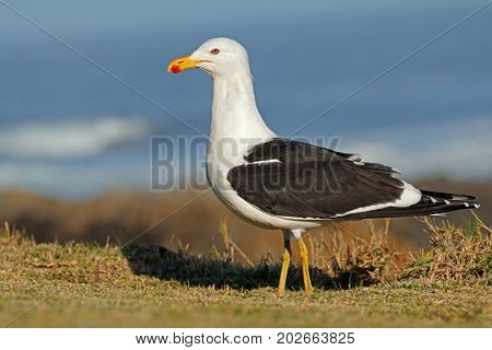 A kelp gull (Larus dominicanus) in natural habitat, South Africa