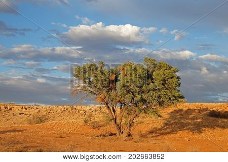 Desert landscape with a thorn tree in early morning light, Kalahari desert, South Africa