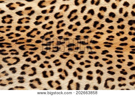 Close-up view of the skin of a leopard (Panthera pardus)