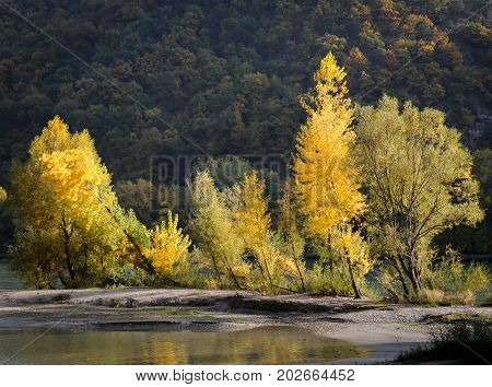 Trees growing on a river bank turning yellow in autumn (Wachau Austria)