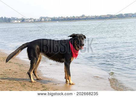 One German Shepherd mix dog on the beach playing in the water on a hot summer day. Wearing a red bandana.