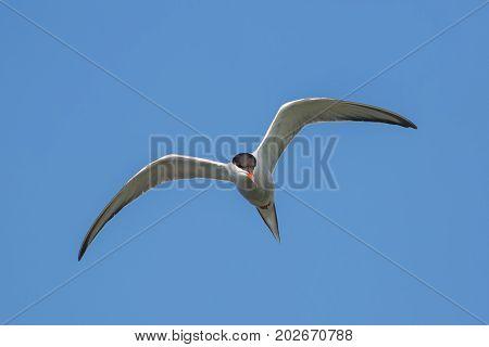 Tern in flight against the blue sky