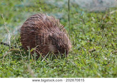 Young muskrat eats young green grass .