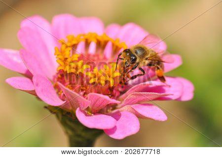 Honey bee collecting nectar on flower. Honey bee (Apis mellifera) pollinating flowers in garden
