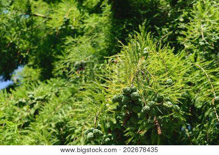 Taxodium distichum cones with green vegetation background
