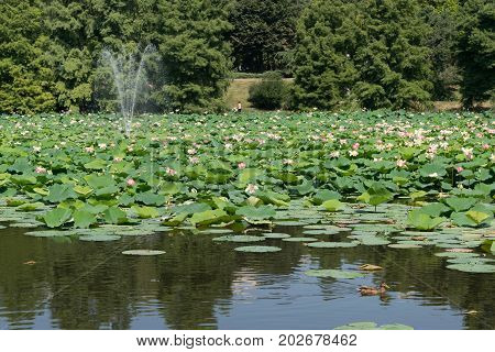 Lacul Tei park in Bucharest. Lake full of blossom waterlilies