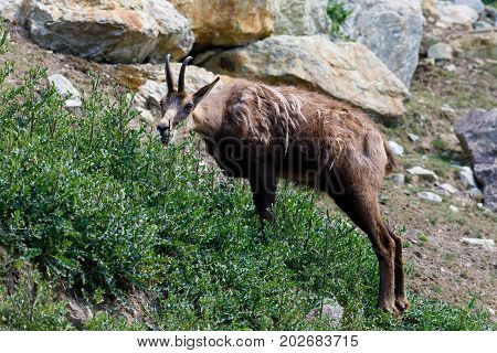 Male Chamois At The Mountain Hill