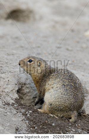 European Ground Squirrel (spermophilus Citellus)