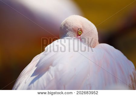 Bird Rose Flamingo (phoenicopterus Roseus)