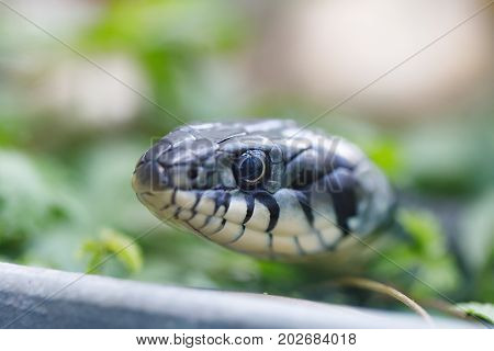 Grass Snake (natrix Natrix) Close Up