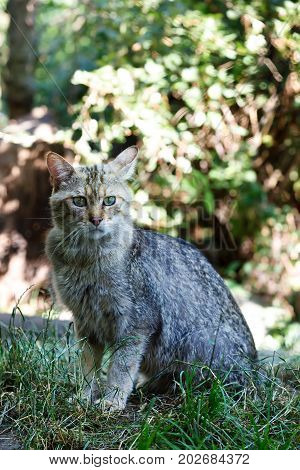 Portrait Of Wildcat (felis Silvestris)