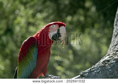 the scarlet macaw is eating a peanut
