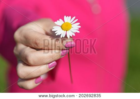 One Camomile (daisy) flower in female hand