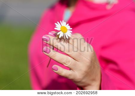 One Camomile (daisy) flower in female hand.