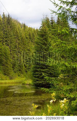 Spruce forest in the Ukrainian Carpathians. Sustainable clear ecosystem. Mountain lake