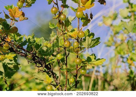 Fresh green gooseberries on a branch of gooseberry bush. Photo in the daytime.