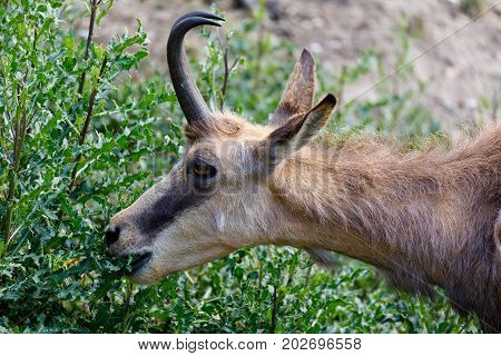 Male chamois at the rocky mountain hill european wildlife