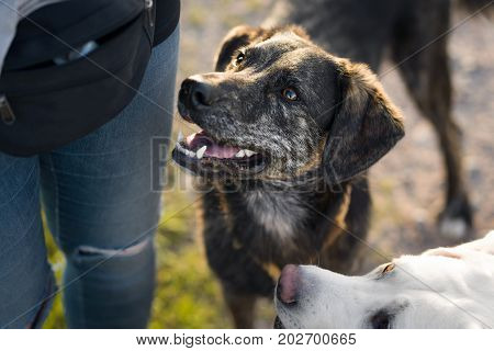 very cute brown dog stands in a sunny field and expects some food from a woman