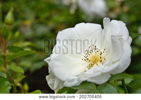 Close-up of a white rose alba plant in garden