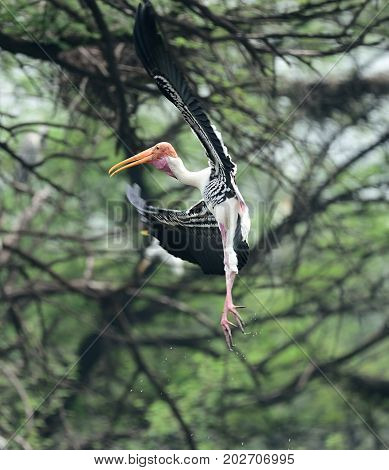 Painted stork with drops of water dropping down landing on a tree branch