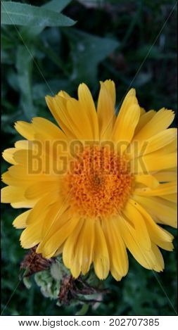 sunny yellow outside garden blossom marigold nature green medetka