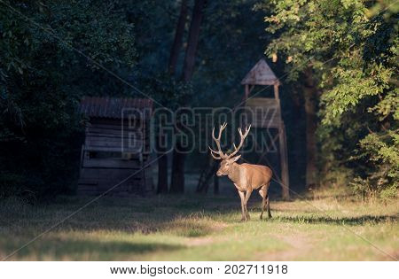 Red Deer Walking In Forest