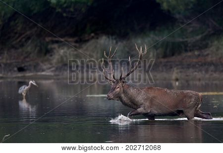 Red Deer Walking In Shallow Water