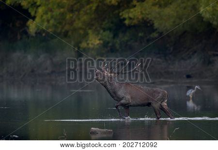 Red Deer Roaring In Water
