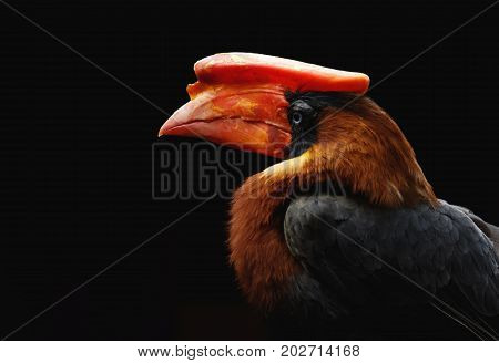 Rhinoceros Hornbill on black background. Exotic bird with big red beak.