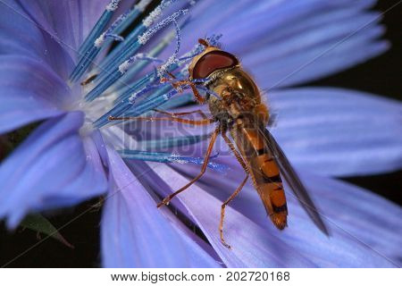 Hoverfly is sittiing on a chicory flower. Wild animals.