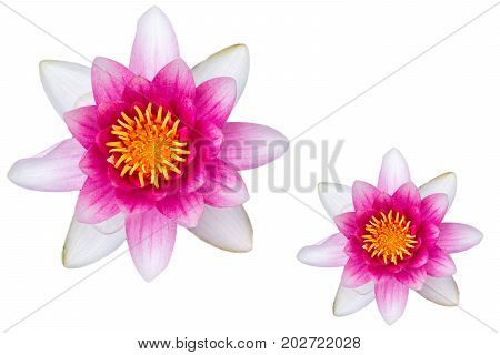 Beautiful pink waterlily isolated on white textured background