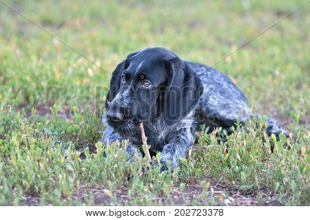 Hunting Dog Breed German Wirehaired Pointer