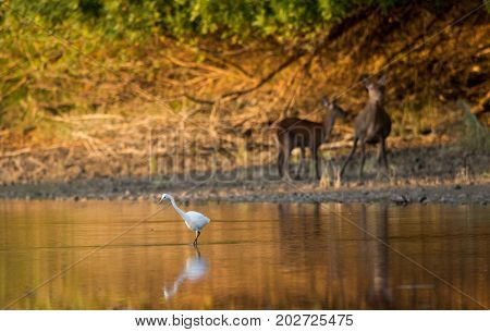 Great White Heron Standing In Water