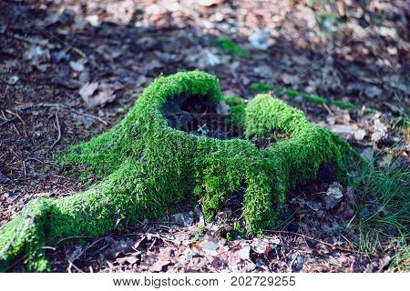 Hollow stump covered with moss in the woods