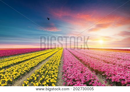 Windmill at sunrise in Netherlands. Traditional dutch windmill, green grass, fence against colorful sky with clouds. Rustic panoramic landscape in the sunny morning in Holland. Rural scene. Travel.