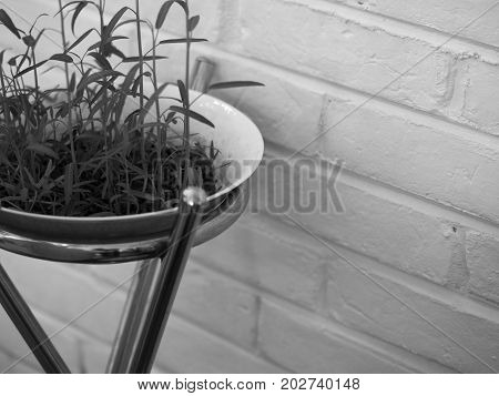 BLACK AND WHITE PHOTO OF FRESH WATERCRESS SPROUT GROWING IN WHITE BOWL