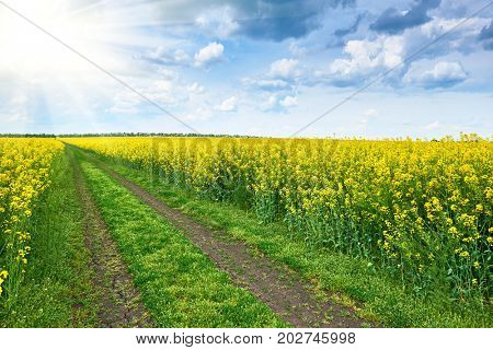 ground road in rapeseed yellow flower field, bright sun, beautiful spring landscape