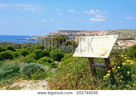 GOLDEN BAY, MALTA - MARCH 29, 2017 - Pretty Spring wildflowers with views towards the cliffs and Mediterranean sea and an olive tree information sign in the foreground Golden Bay Malta Europe, March 29, 2017.