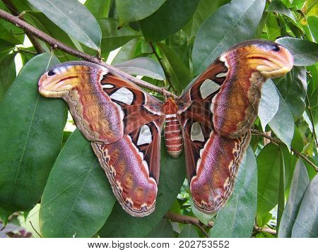 A giant Atlas Moth the largest in the world lands in the gardens