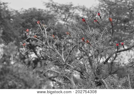 a flock of carmine bee-eaters in a tree