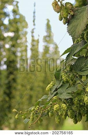 closeup of a hop plant in a hop field